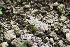 Camouflage frog. Green spotted camouflage frog on ground Stock Photo