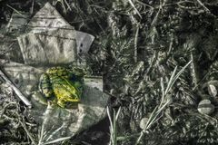 Camouflage frog in the pond. Space for text stock photo