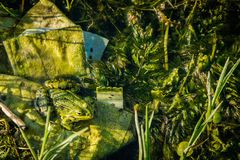 Camouflage frog in the pond. Space for text royalty free stock photography
