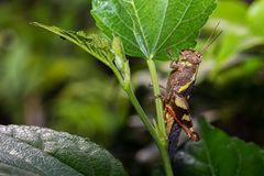 The Camouflage Grasshopper Royalty Free Stock Image