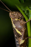 The Camouflage Grasshopper Royalty Free Stock Images