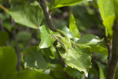 Camouflage: Green Anole, Carolina Anole. The green anole or Carolina Anole (Anolis carolinensis) is able to change its skin like a chameleon to blend in. Here it stock photos