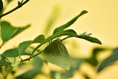 Camouflage. A green butterfly is hiding itself under the green leaves of a palm plant Royalty Free Stock Photo