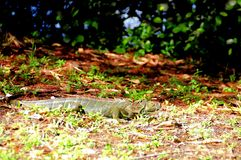 Camouflage of green iguana walking in park Royalty Free Stock Image