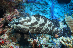 Camouflage grouper fish Royalty Free Stock Photo