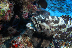 Camouflage grouper fish Stock Photos