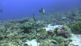 Camouflage groupers Epinephelus polyphekadion on the coral plateau in Red sea. Sudan stock footage