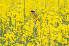Camouflage jaune Image stock
