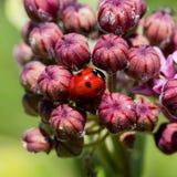 Camouflage Ladybug Royalty Free Stock Photography