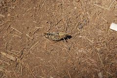 Camouflage naturel - cricket sur le plancher de forêt se mélangeant dans des environs image stock