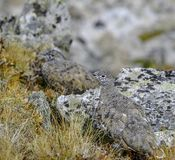 Camouflaged Rock Ptarmigan stock photo