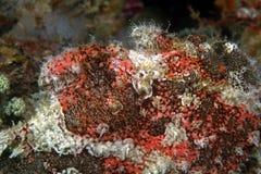Camouflage Scorpionfish, Mabul Island, Sabah Stock Photography