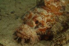Camouflage Scorpionfish, Mabul Island, Sabah Royalty Free Stock Images