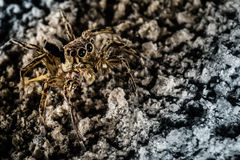 Camouflage Spider. Taken by ext tube 22mm, macrophotography Royalty Free Stock Image