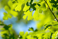 Camouflage Spring Green Oak Leaves Stock Photo