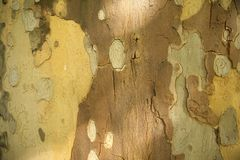 Camouflage texture of bark of tree stock photography