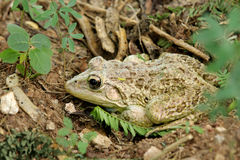 A camouflage toad Royalty Free Stock Photo
