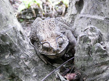 The Camouflage of toad Royalty Free Stock Photography