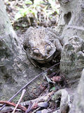 The Camouflage of toad Stock Photography