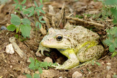 A camouflage toad ready to jump Royalty Free Stock Photo