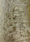 Camouflage of a Tree Gecko Stock Images