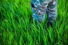 Camouflage trousers in tall grass. Legs in woodland camouflage denim trousers in tall grass with selective focus stock photography