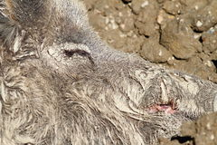 Camouflage of wild boar fur in mud Stock Image