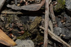A camouflaged baby frog. Stock Photos