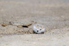 Camouflaged Baby Piping Plover Royalty Free Stock Photo