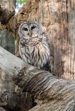 Barred Owl sitting in a dead tree in Georgia stock photography
