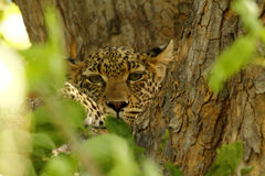 Camouflaged Big Cat Royalty Free Stock Photography