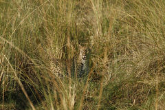 Camouflaged Big Cat Stock Photo