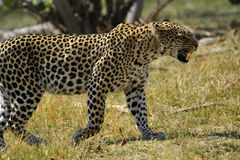 Angry Leopard Big Cat Royalty Free Stock Photo