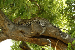 Tree Dwelling Sleepy Big Cat Royalty Free Stock Photography