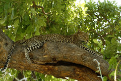 African Leopard high up a tree Royalty Free Stock Image