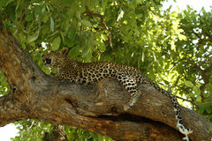 Big Cat high up a tree Royalty Free Stock Images