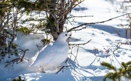 Camouflaged bon Blanc-a coupé la queue le lagopède alpin dans le plumage d'hiver photographie stock libre de droits