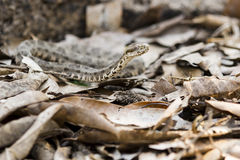 Camouflaged Bothrops Species Snake Raising Head in Leaves Stock Photo