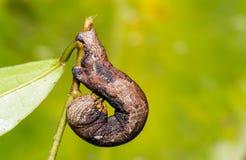 Camouflaged caterpillar of geometrid moth Royalty Free Stock Photos