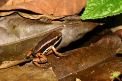 Camouflaged Dart Frog Stock Photos