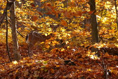 Camouflaged Deer Stock Images