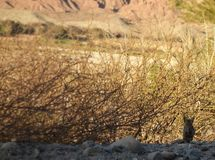 Camouflaged desert fox cub. Desert fox cub camouflaged amid dry shrubs, somewhere in salta, argentina royalty free stock images