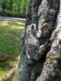 Camouflaged drzewnej żaby kumaka kontaminacja wewnątrz na drzewnym bagażniku zdjęcia royalty free