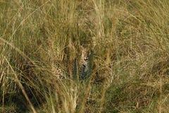 Camouflaged Duży kot Zdjęcie Stock