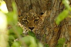 Camouflaged Duży kot Fotografia Royalty Free