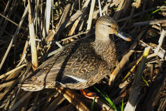 Camouflaged duck in high grass Royalty Free Stock Photography
