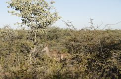 Female kudu hidden in dense bush under blue sky at Okonjima Nature Reserve, Namibia. Camouflaged female kudu brown against brown and olive green bush in morning royalty free stock photography