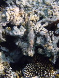 Camouflaged fish and coral. Close up of coral reef with camouflaged tropical fish Stock Image