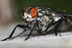 Camouflaged flesh fly Stock Photo