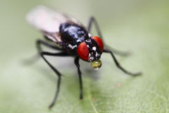 Camouflaged flesh fly with bubble Stock Photo